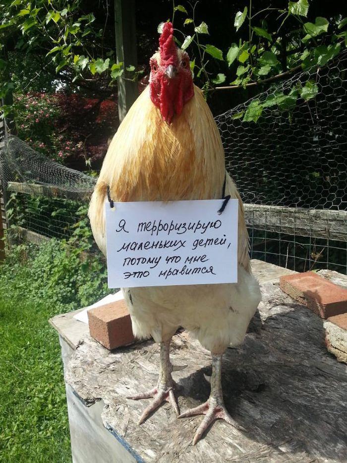 Для, картинки с петухами и курицами прикольные